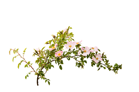 branch with flowers of rose hips isolated on a white background Stock Photo