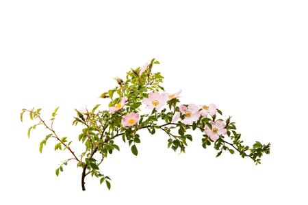 Zweig mit Blüten von Hagebutten auf einem weißen Hintergrund