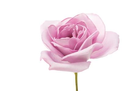 purple rose: beautiful purple rose on a white background