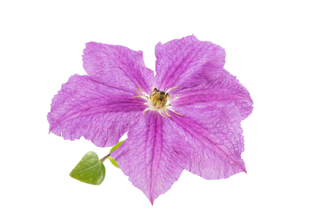 clematis flower: clematis flower isolated on white background