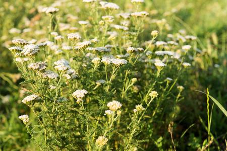 yarrow: Yarrow herb growing in a meadow