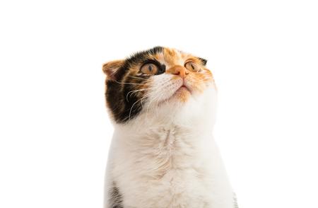 scottish female: Scottish cat on a white background Stock Photo