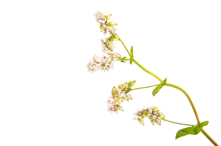 kwiat gryki na białym tle