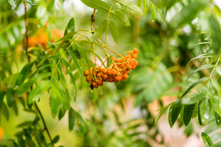 rowan tree: Rowan tree berries on a branch. Stock Photo