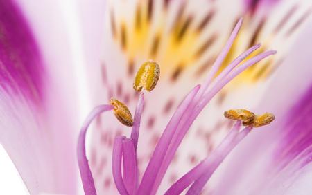 alstroemeria: lilac alstroemeria on a white background