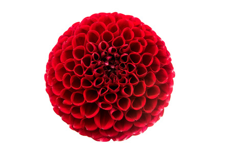 abloom: A red Dahlia flower on white background.