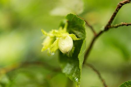 hazel nut: Green hazel nut growing on a tree branch