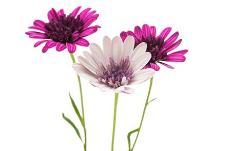 fun background: Osteosperumum Flower Daisy Isolated on White Background. Macro Closeup