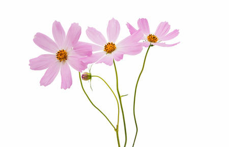 Beautiful Cosmos Flower isolated