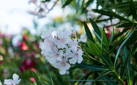 oleander: oleander flowers natural bouquet closeup
