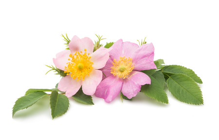 wild rose on a white background