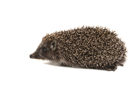 spiny: Hedgehog on a white background