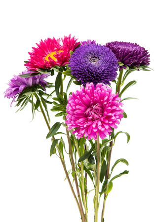 marguerite: Beautiful flower aster isolated on white background Stock Photo