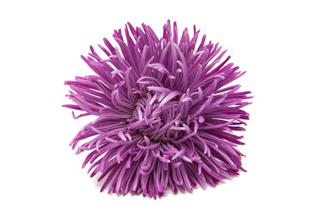 Beautiful flower aster isolated on white background Stock Photo