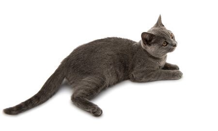 cat eye: Beautiful domestic gray or blue British short hair cat with yellow eyes on a white background Stock Photo