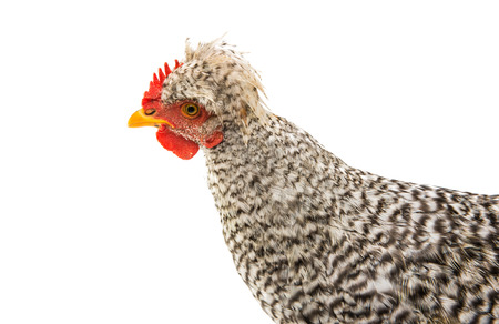 young cockerel on a white background