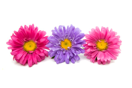 Beautiful flower aster on a white background