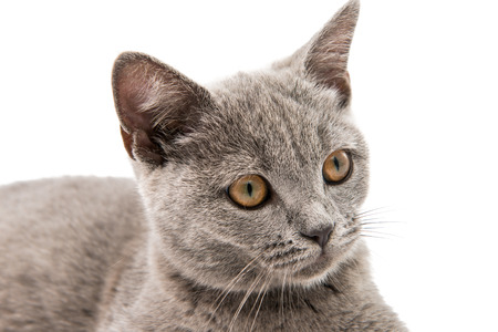 british short hair: Beautiful domestic gray or blue British short hair cat with yellow eyes on a white background Stock Photo