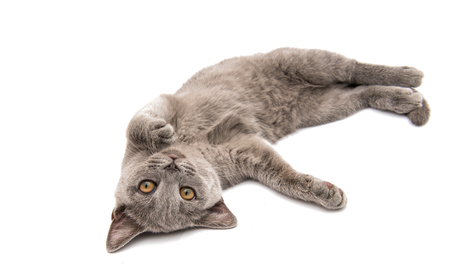 Beautiful domestic gray or blue British short hair cat with yellow eyes on a white background Stock Photo