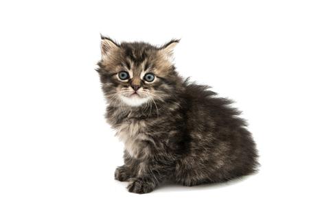 fluffy kitten on a white background Stock Photo