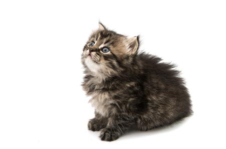 fluffy kitten on a white background