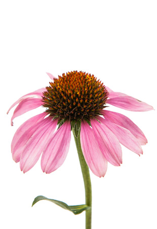 Echinacea flower on a white background
