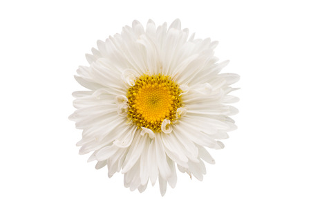 aster: aster on a white background Stock Photo