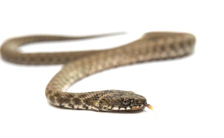 sliding scale: Snake isolated on white background