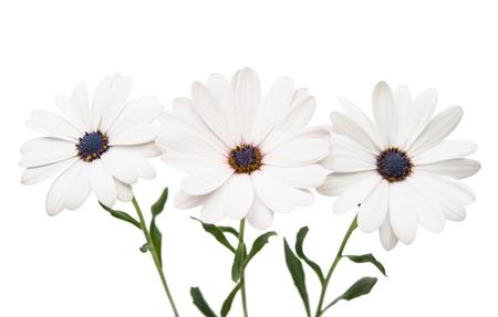 Osteosperumum fleur Daisy isolé sur fond blanc. Macro, closeup