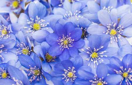nobilis: Hepatica nobilis - Background from blossoms