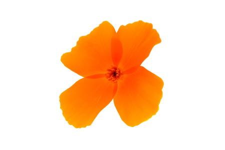 californian: orange poppy flower on a white background Stock Photo
