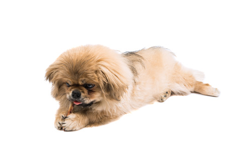 Pekingese on white background Stock Photo