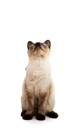 siamese cat: Siamese cat on a white background