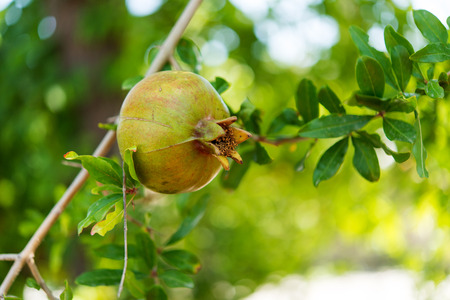pommegranate: Green grenades on the tree