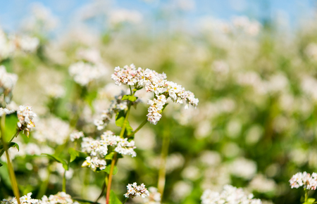 blooming buckwheat on the field Stock Photo