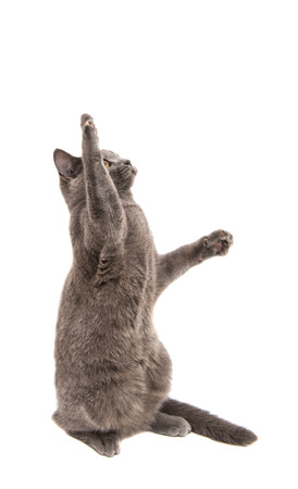 gray: British gray cat on a white background