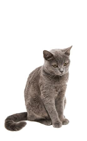 gray cat: British gray cat on a white background