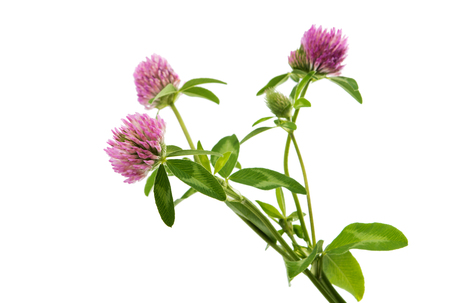clover flower on a white background