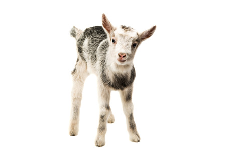 hircus: Gray goat isolated on white background