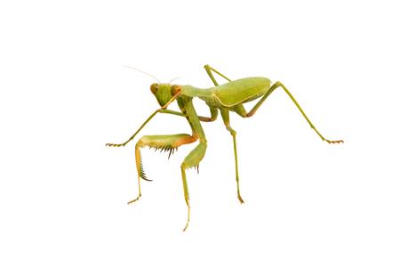 european mantis: Female Praying Mantis, in front of white background