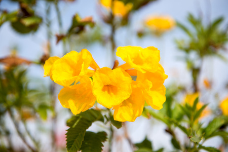 Tecoma flowers on a background of blue sky in Egypt Stock Photo