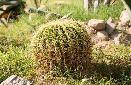 ball park: Large round cactus plant (Golden Barrel Cactus, Golden Ball) growing in the park Stock Photo