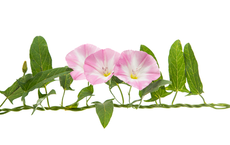 convolvulus: Pink bindweed isolated on white background