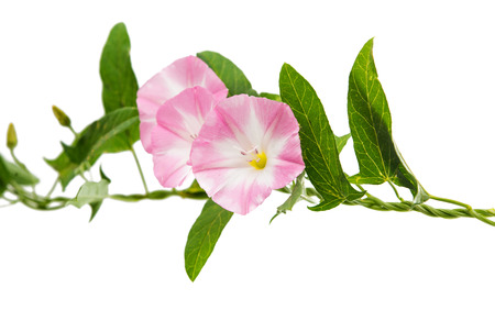 Pink bindweed isolated on white background