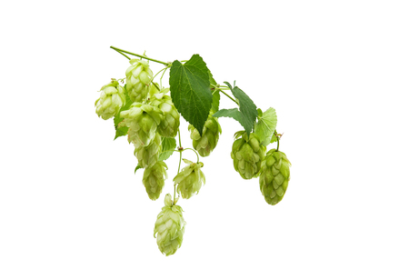 ferment: Hop cone isolated on white background