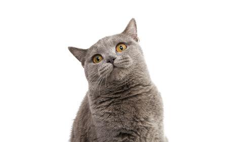 cat isolated: British shorthair grey cat isolated on the white background