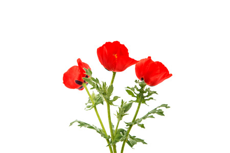 poppy flowers on a white background
