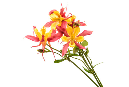pink columbine: aquilegia flower isolated on white background