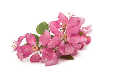pink flowers on an apple-tree on a white background