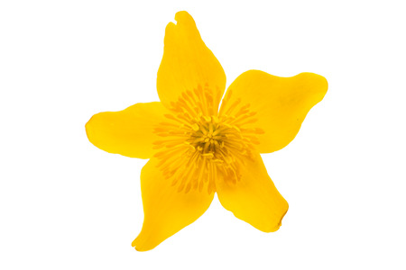 vernal: yellow spring flower on a white background